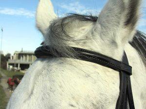 Dettaglio del frontalino imbottito e bombato per testiera da cavallo.